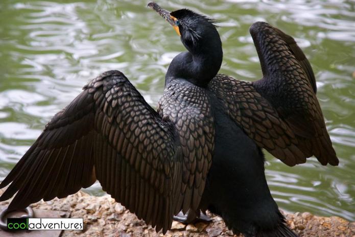 Double-Crested Cormorant along the River Walk, San Antonio, Texas