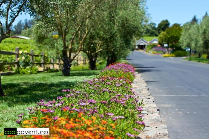 Flowers & olive trees welcome you to Martin Ray Winery