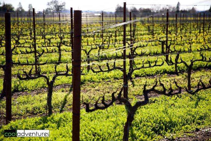 Vintner's Inn vineyards, Sonoma County, California