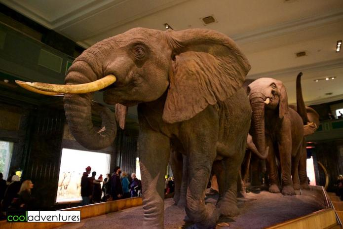 Hall of African Mammals, The American Museum of Natural History, New York, New York