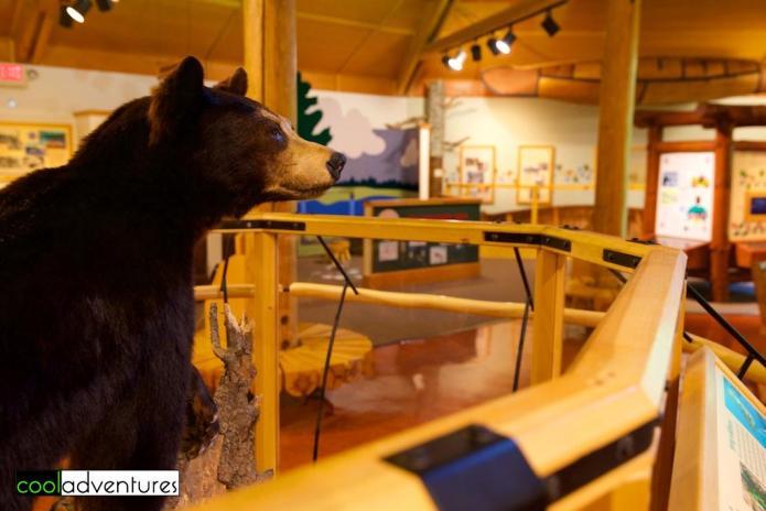 Bear exhibit, Jacob V. Brower Visitor Center, Itasca State Park, Minnesota
