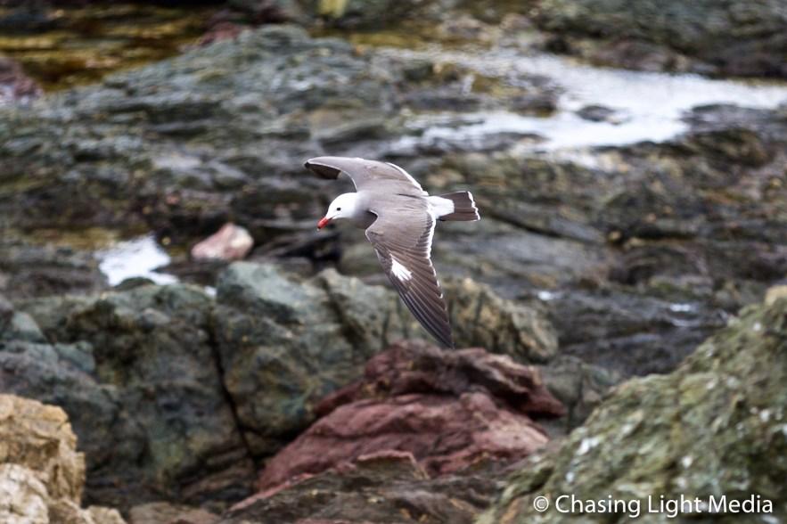 Heermann's Gull with color morph, Islas San Benito, Mexico