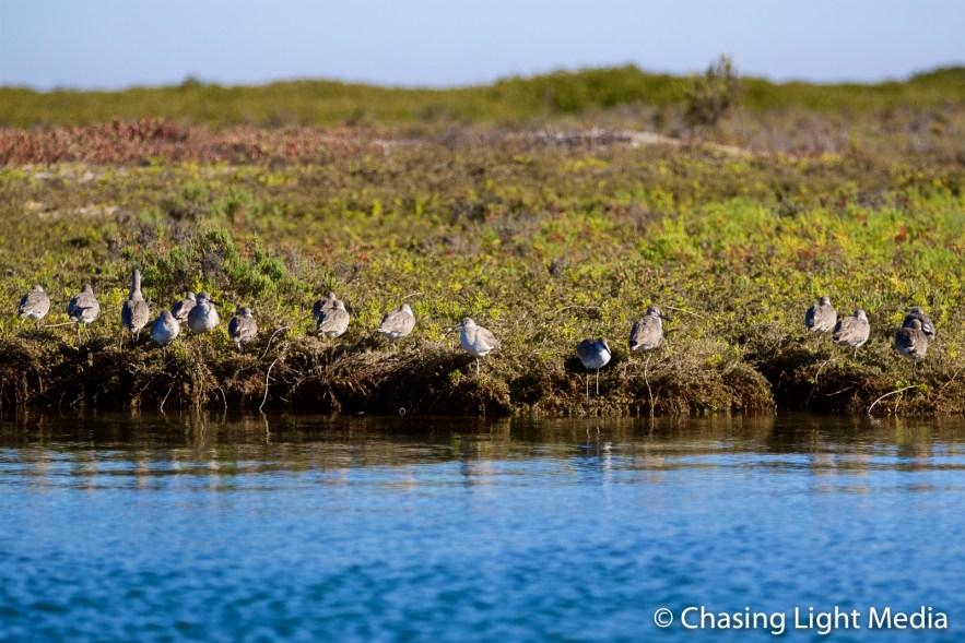 Shorebirds along shoreline in the mangroves, Laguna San Ignacia