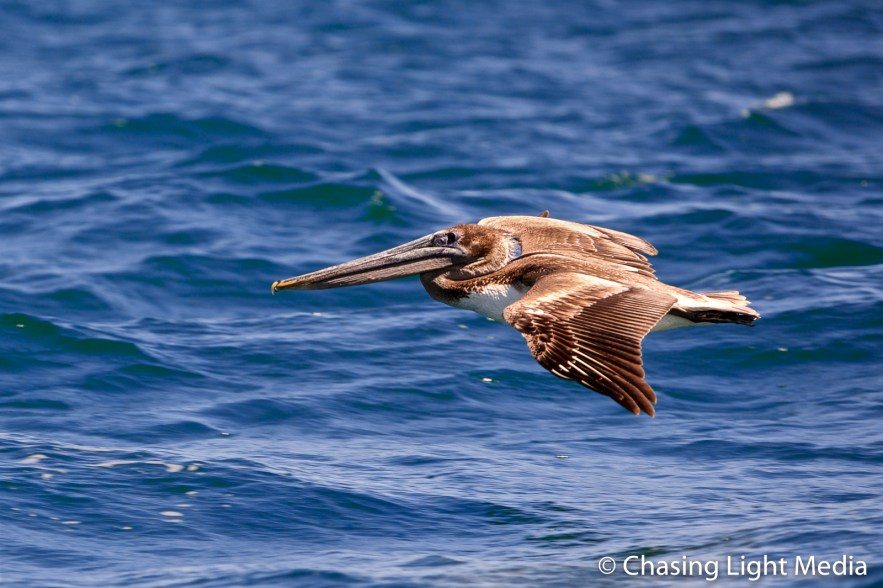 Brown pelican flying above Laguna San Ignacio, Baja California
