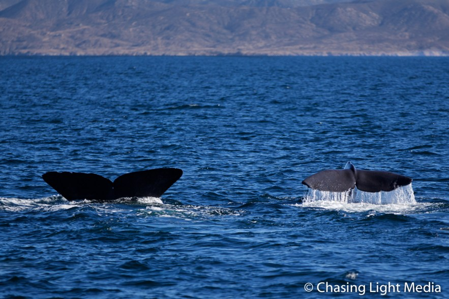 Two fin whale flukes of the coast of the Gulf of California