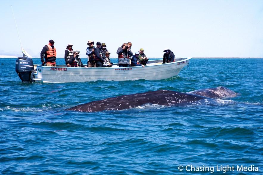 Visitors watching a pair of gray whales, San Ignacio