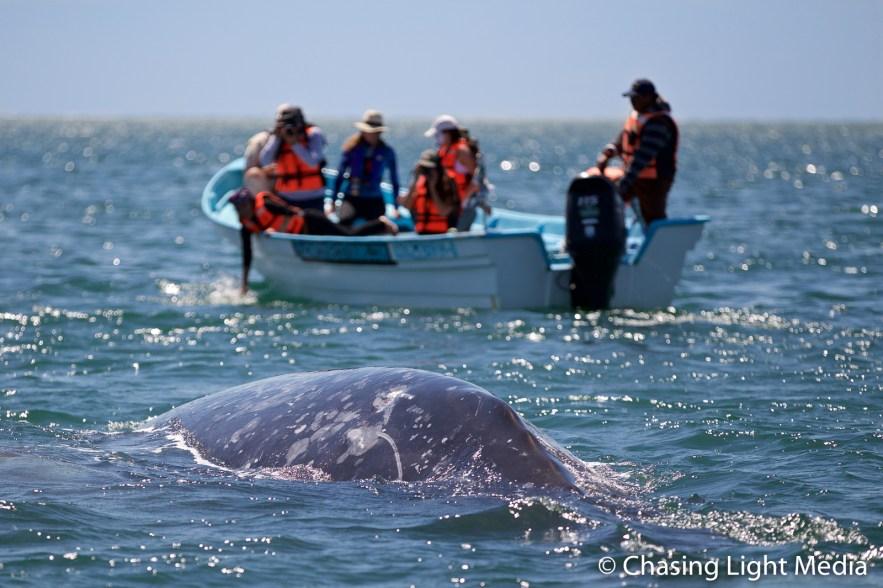 Grey whale in Laguna San Ignacio s panga looks on, Baja California, Mexico