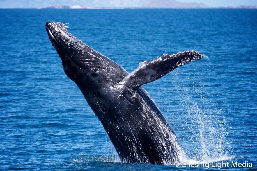 Breaching humpback whale [frame 4 - tilting]