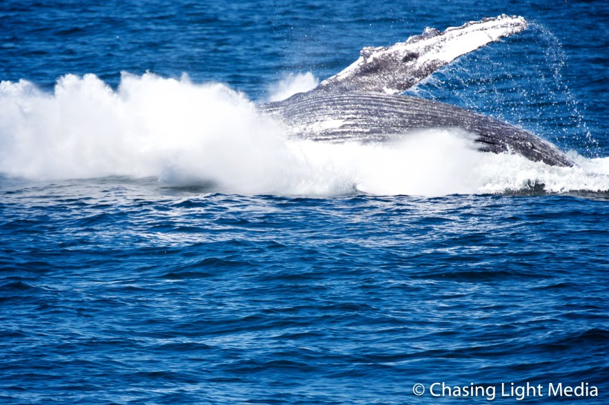 Breaching humpback whale [frame 9 - splash]