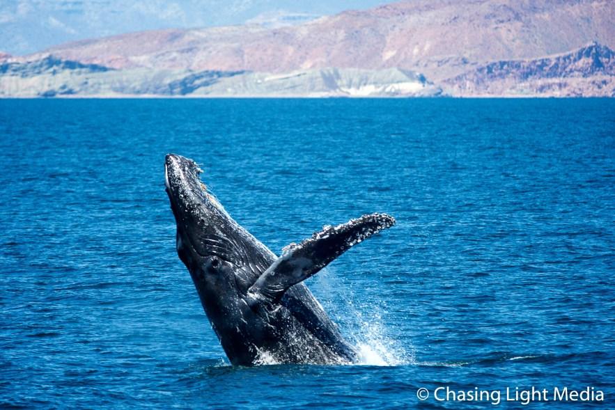 Breaching humpback whale offshore Isla San Francisco [frame 1}