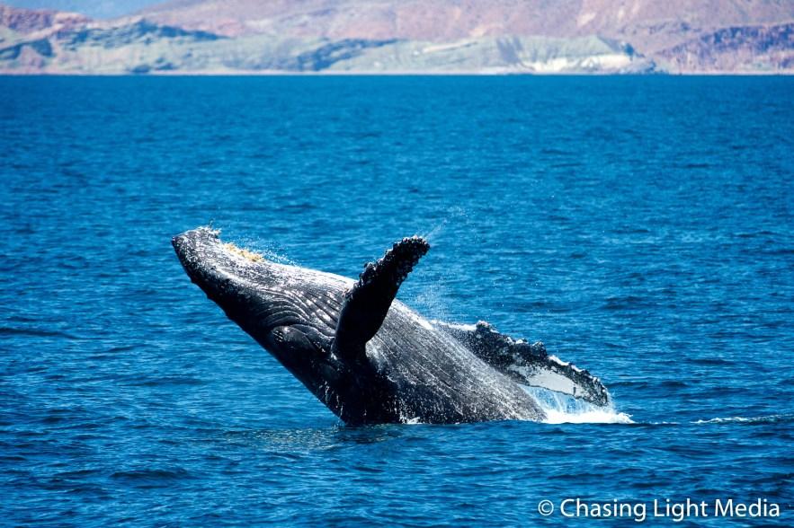 Breaching humpback whale offshore Isla San Francisco [frame 3]