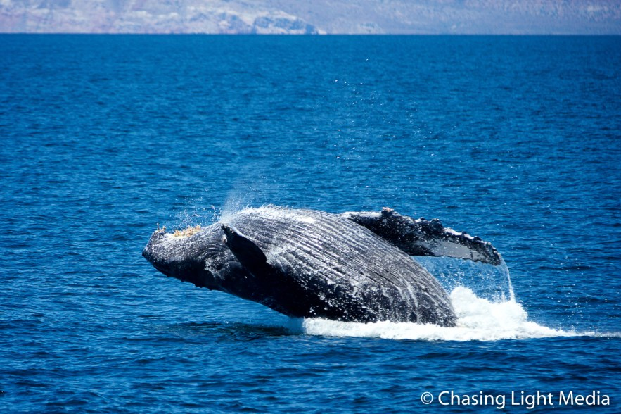 Breaching humpback whale [frame 3 - just above the surface]