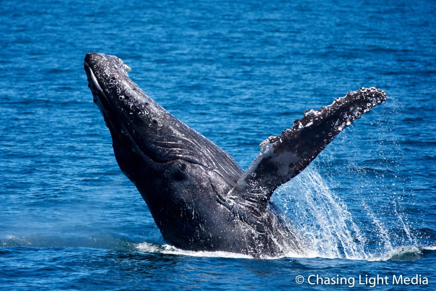 Breaching humpback whale [frame 1 - rising up]