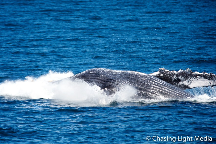 Breaching humpback whale [frame 5 - on its back]