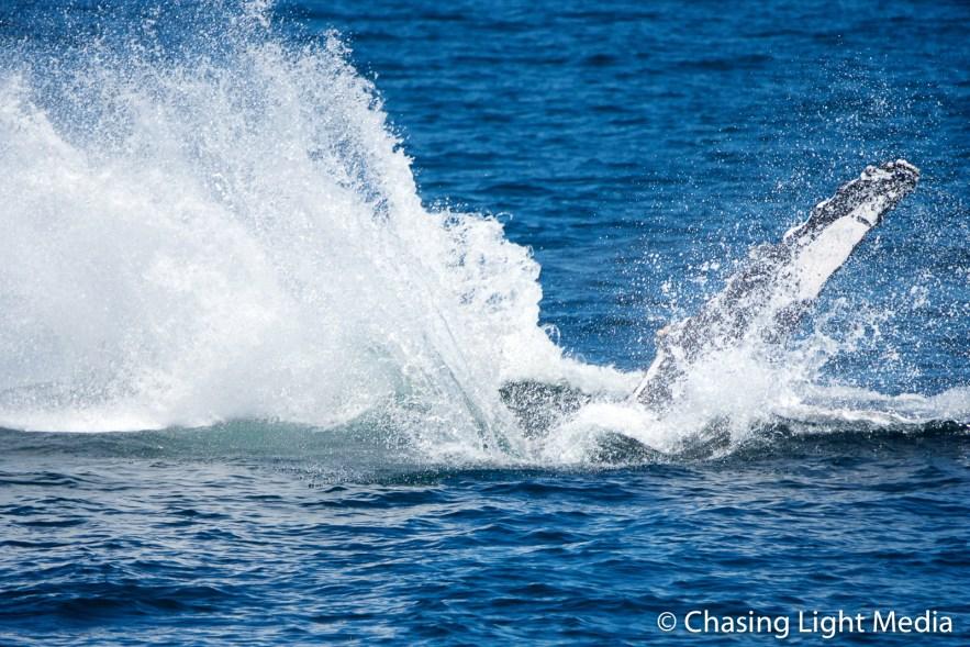 Breaching humpback whale [frame 7 - spraying upward]