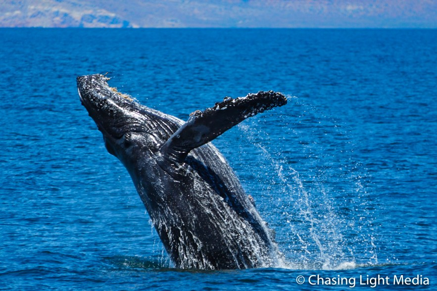 Humpback whale breaching in Mexico waters