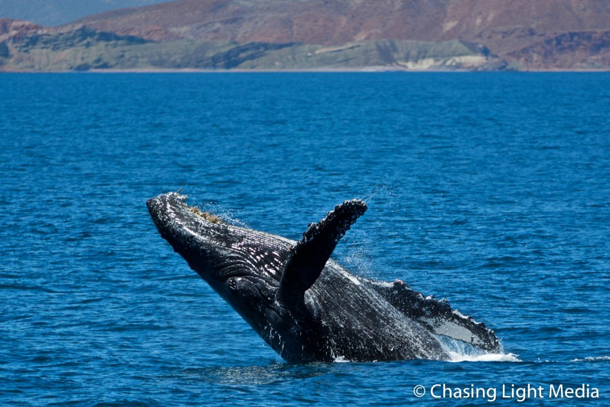 Humpback whale breaching near mountains and shoreline