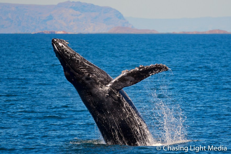 Humpback whale breaching in waters near Isla San Francisco, Baja