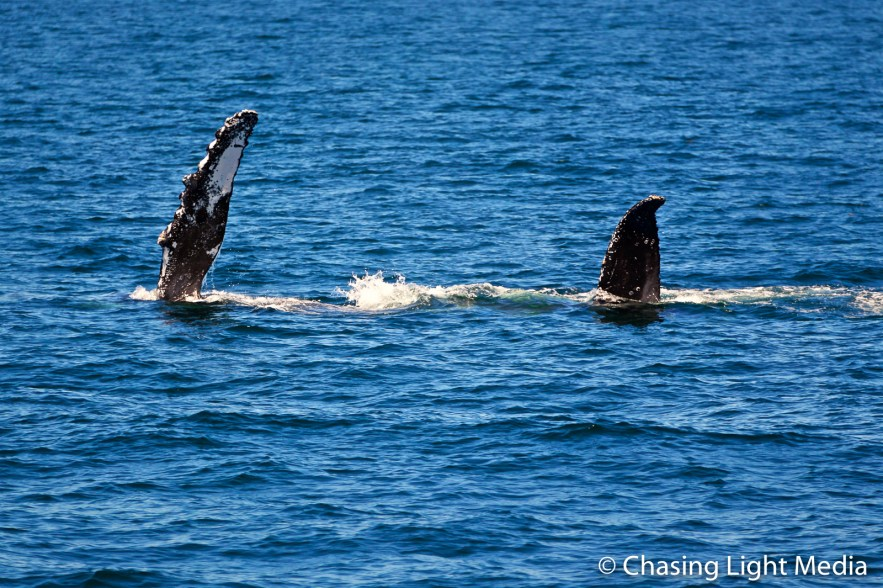 Humpback whale waving flippers out of water
