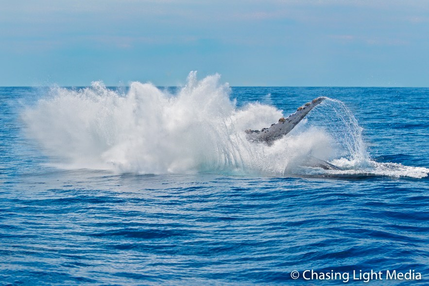 Humpback whale making a splash following breach, Baja, Mexico