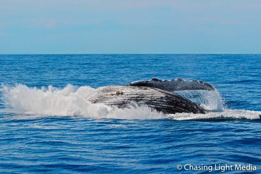 Humpback whale flopping after breach, Baja, Mexico