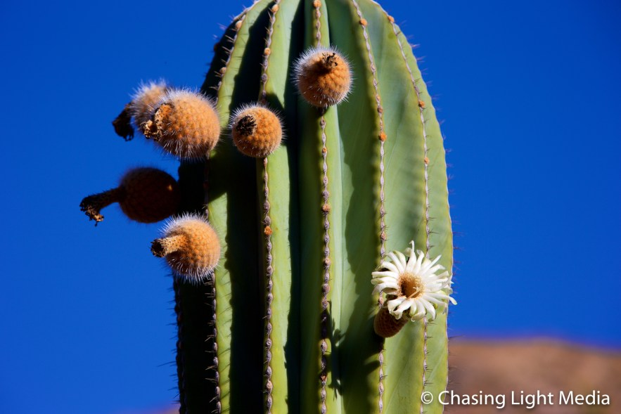 Flowering cardon cactus, Isla Santa Catalina, Baja Peninsula