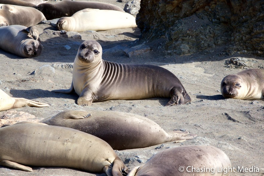 Elephant seal sits up amid napping companions, Baja Peninsula