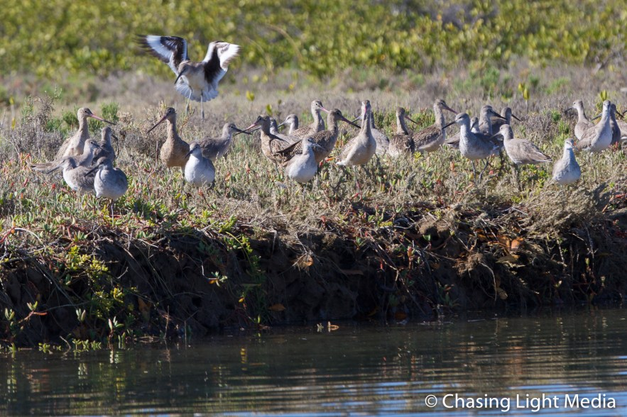 Shorebird landing among its companions, San Ignacio mangroves, S