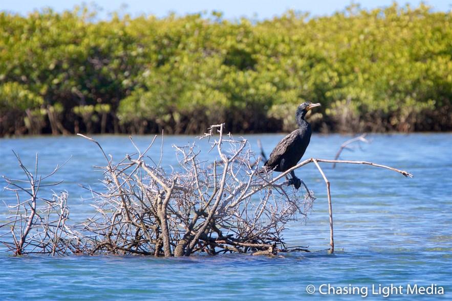Bird sitting on a branch in the San Ignacio mangroves