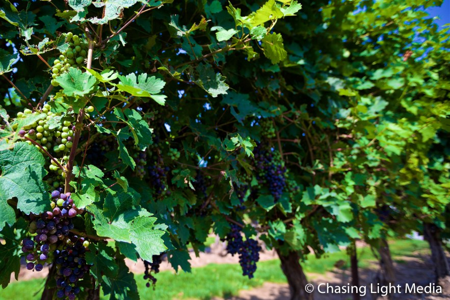 Vineyard at Pillitteri Estates Winery, Niagara-on-the-Lake