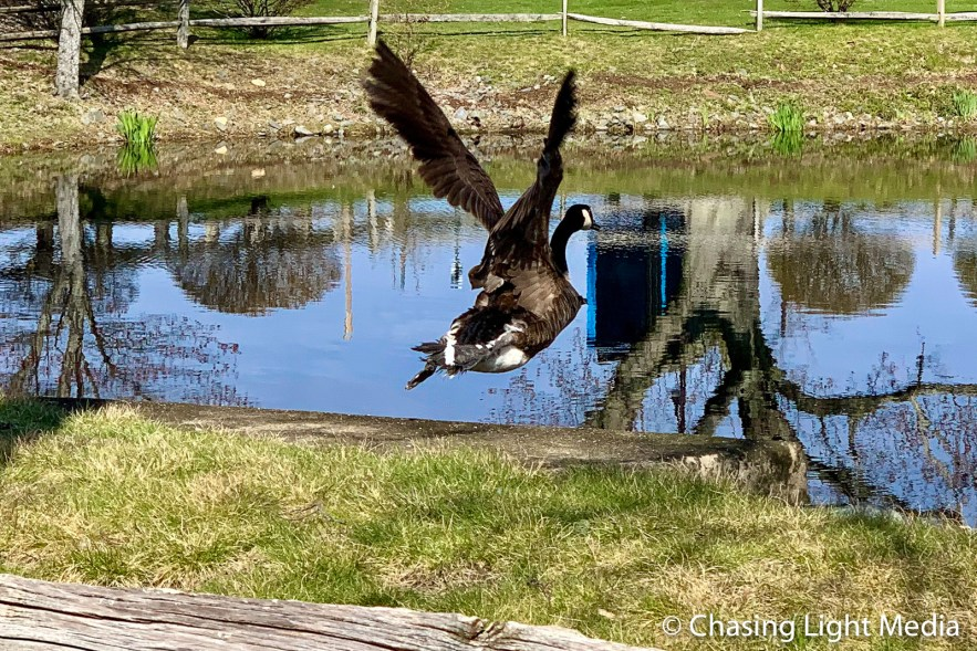 Flying goose at the pond at Cordage Commerce Center