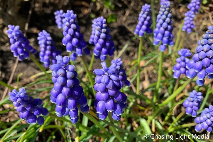 Purple spring flowers, Plymouth, Massachusetts