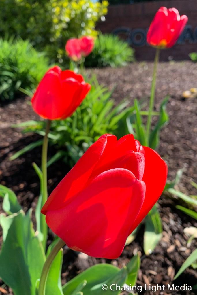 Spring tulips, Plymouth, Massachusetts