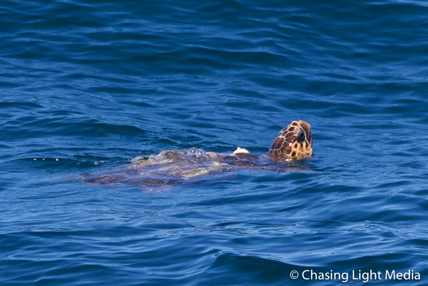Sea turtle swimming in the Pacific Ocean, South of Magdalena Bay
