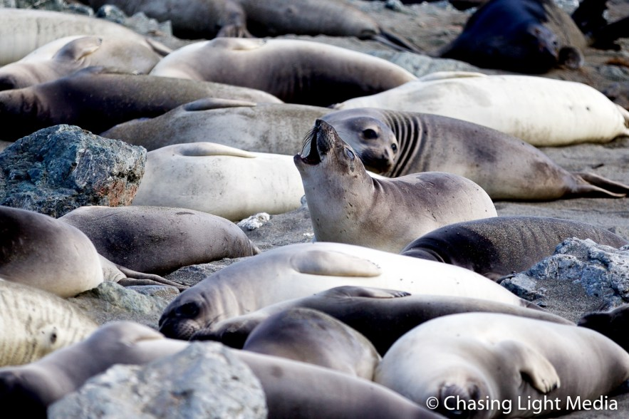 Elephant seal barking as the others in the colony rest