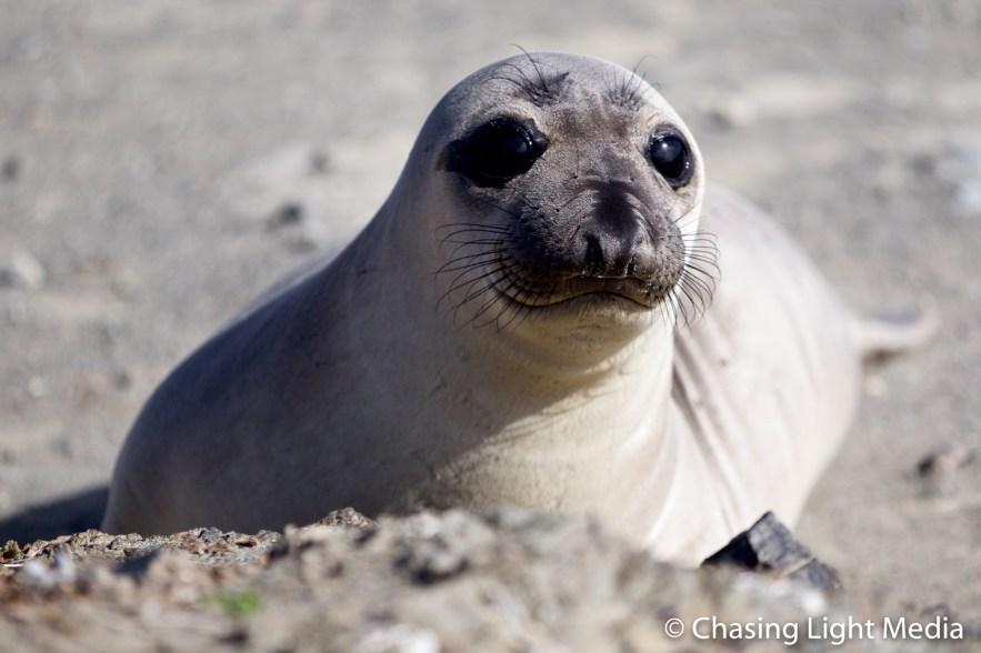 Elephant seal on San Benito Oeste, Islas San Benito, Mexico