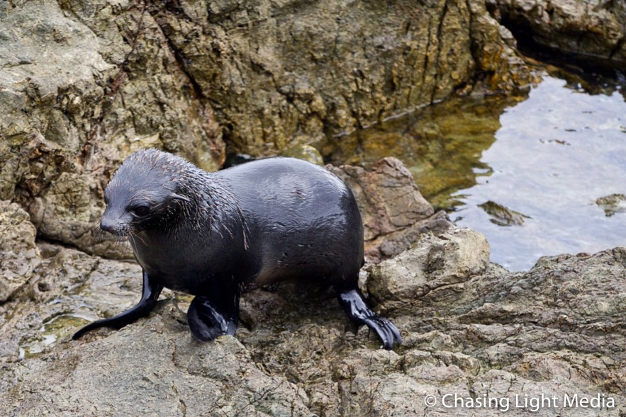 Guadalupe Fur Seal on rocky coastline of San Benito Oeste