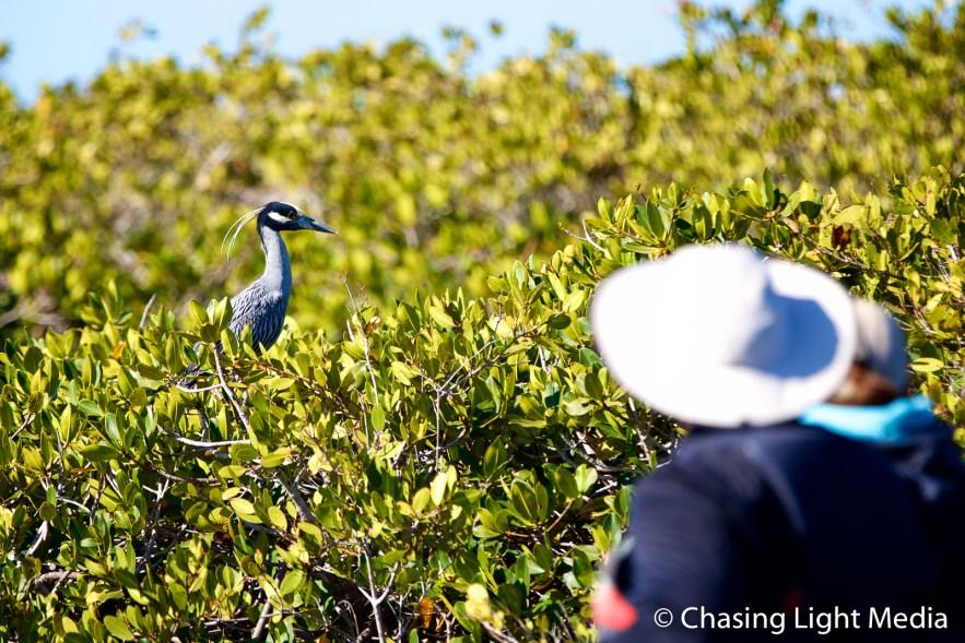 Bird watching, San Ignacio mangroves