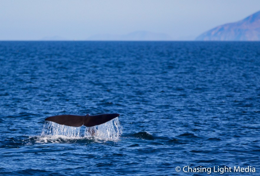 Sperm whale fluke with mountains along the coastline