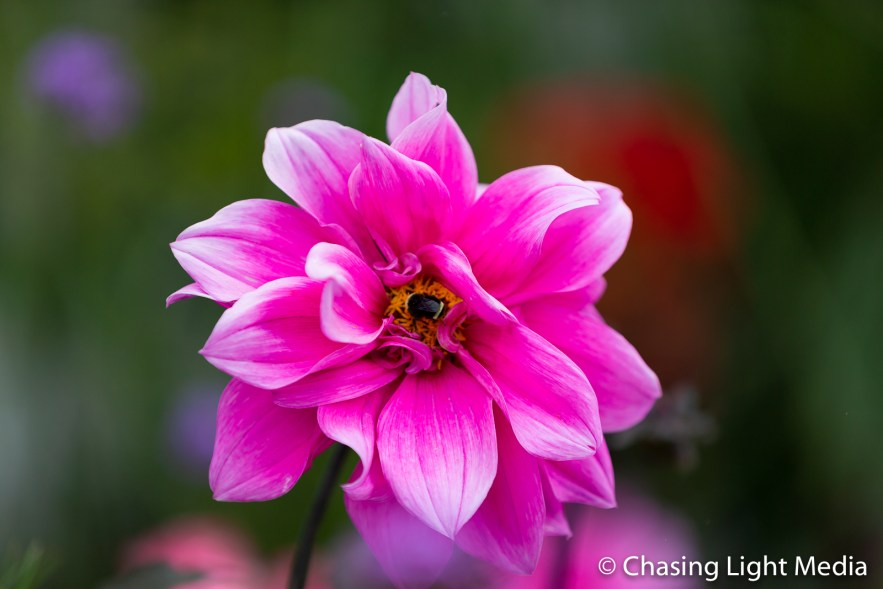 Bee on a pink flower, Vancouver Island, British Columbia, Canada
