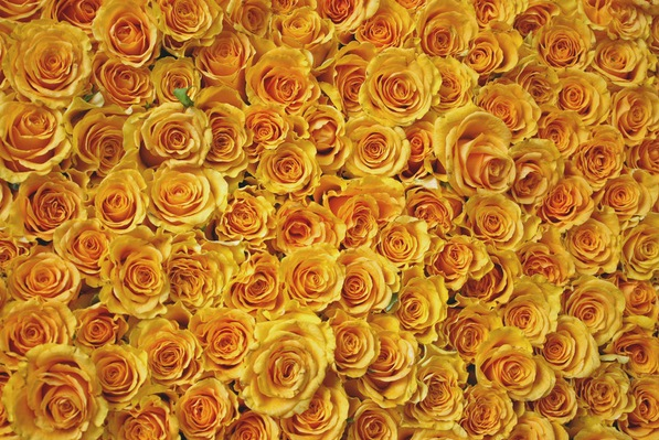 Bed of Roses1
