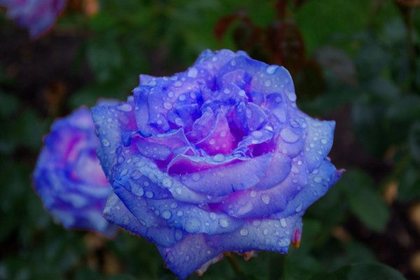 Blue Roses for a Blue Lady