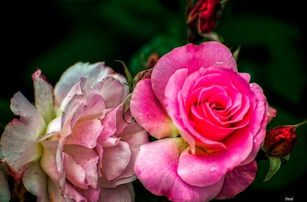 Rose of Retiro