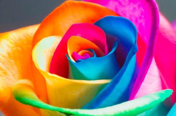 The Perfect Rainbow Rose