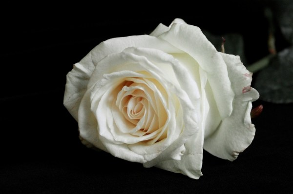 my Rose from you