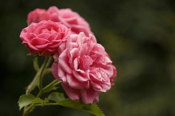 roses15