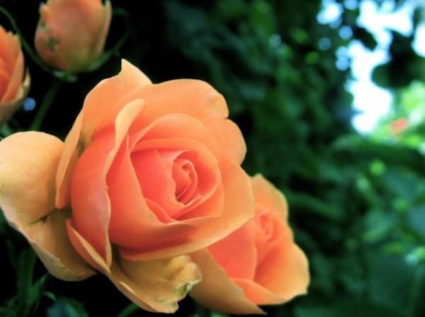 roses8