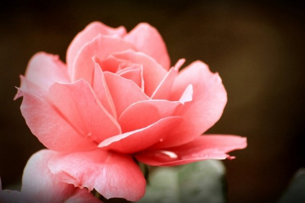 soft as a rose 2