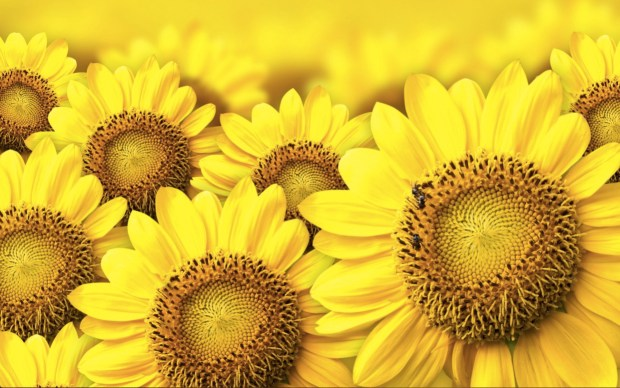 Image of Colorful Sunflower