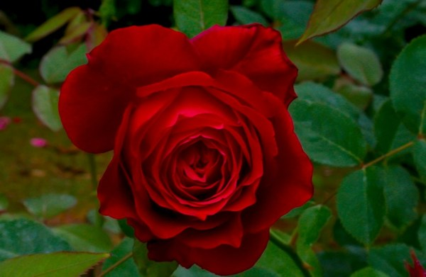 Red Rose in the Garden 1